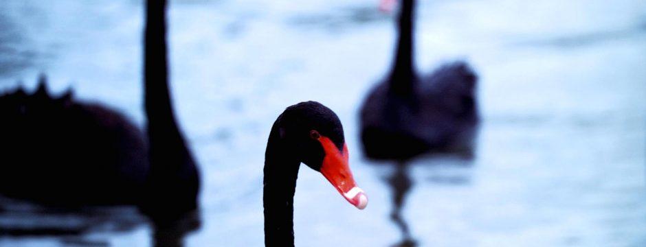 Cigni neri e alcuni miti del marketing digitale
